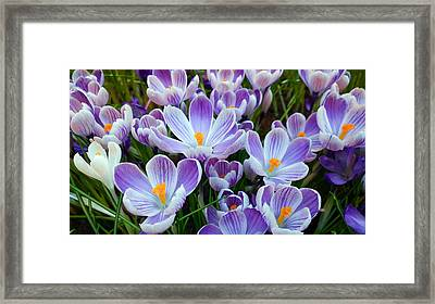 Crocus Flowers Framed Print