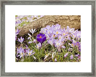 Crocus Garden In Spring Framed Print by Maria Janicki