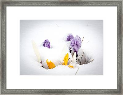 Crocus In The Snow Framed Print by Nick Mares