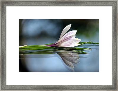 Crocus Reflections Framed Print by  Andrea Lazar