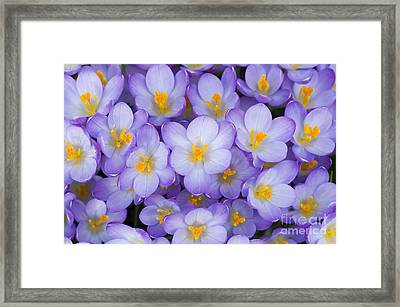 Crocus Vernus Queen Of The Blues  Framed Print by Tim Gainey