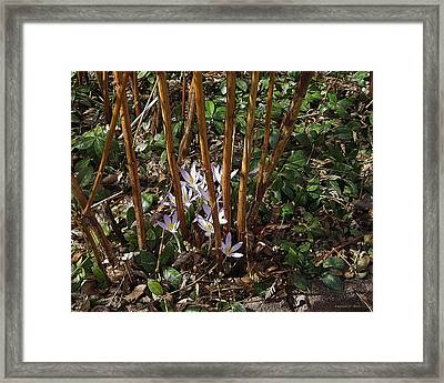 Crocuses And Raspberry Canes Framed Print