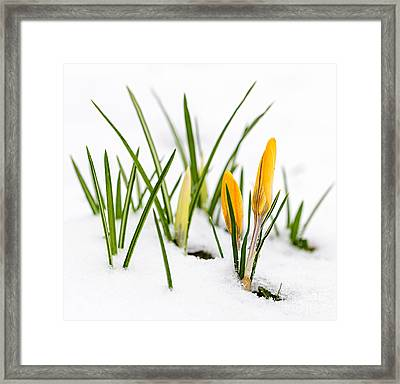 Crocuses In Snow Framed Print