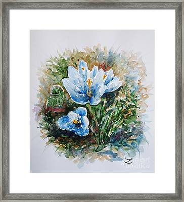 Crocuses Framed Print by Zaira Dzhaubaeva