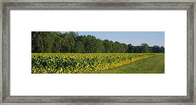 Crop Of Tobacco In A Field, Winchester Framed Print by Panoramic Images