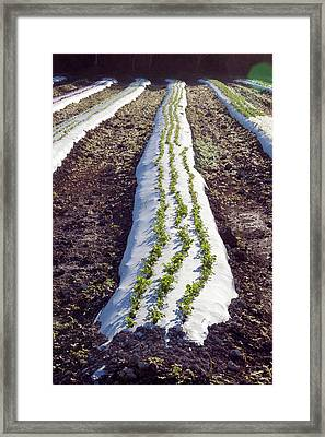 Crop On An Organic Farm Framed Print by Jim West