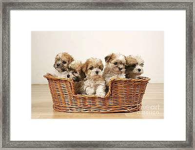 Cross Breed Puppies, Five In Basket Framed Print