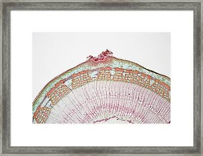 Cross-section Of Basswood Or Linden Framed Print by Science Stock Photography