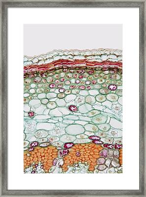 Cross-section Of Epidermis Of Basswood Framed Print by Science Stock Photography