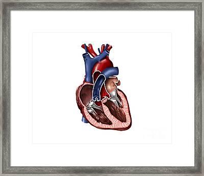 Cross Section Of Human Heart Framed Print by Stocktrek Images