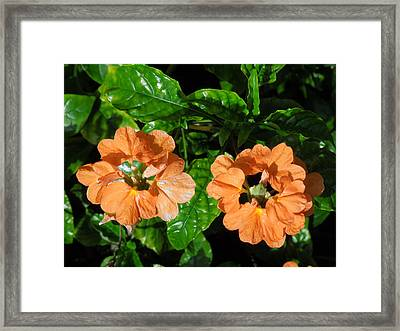 Framed Print featuring the photograph Crossandra by Ron Davidson