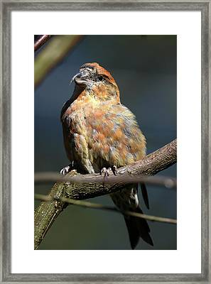 Crossbill Loxia Curvirostra Male Spain Framed Print