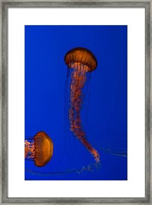 Crossing Pacific Sea Nettles 1 Framed Print by Scott Campbell