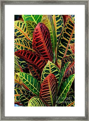 Croton Leafscape Framed Print by Larry Nieland