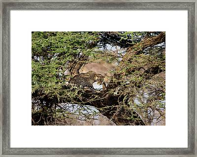 Crouching Leopard Framed Print by June Jacobsen