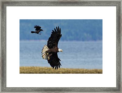 Crow Attacking Bald Eagle Framed Print by Ken Archer