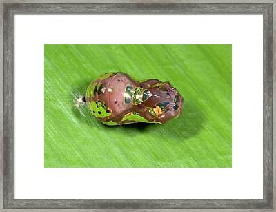 Crow Butterfly Pupa Framed Print by Nigel Downer