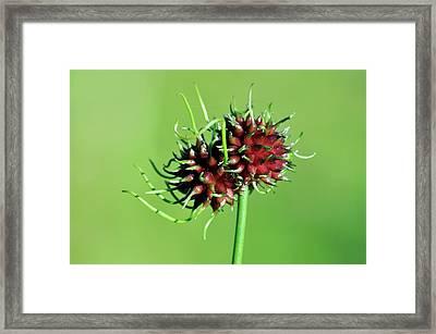 Crow Garlic (allium Vineale) Flower Bulb Framed Print