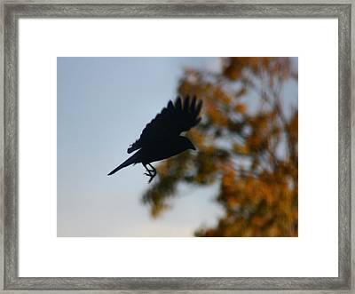 Crow In Flight 1 Framed Print by Gothicrow Images