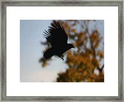 Crow In Flight 2 Framed Print