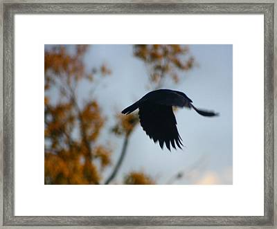 Crow In Flight 4 Framed Print by Gothicrow Images