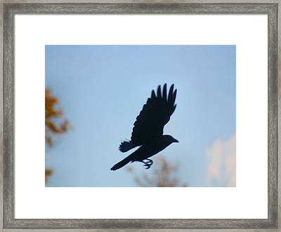 Crow In Flight 5 Framed Print by Gothicrow Images