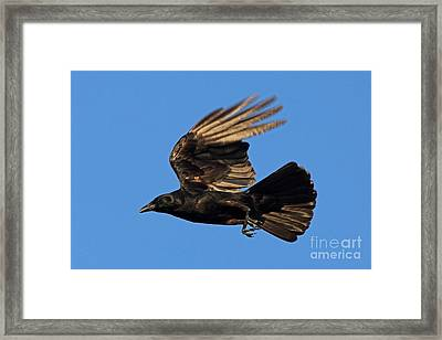 Framed Print featuring the photograph Crow In Flight by Meg Rousher