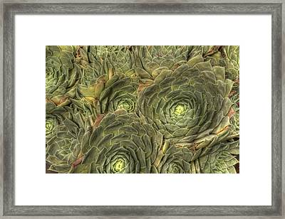 Crowded Pot Of Hens And Chicks Framed Print by Jean Noren