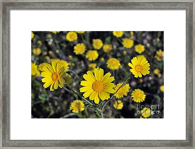 Framed Print featuring the photograph Crown Daisies by George Atsametakis