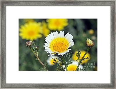 Crown Daisy Flower Framed Print by George Atsametakis