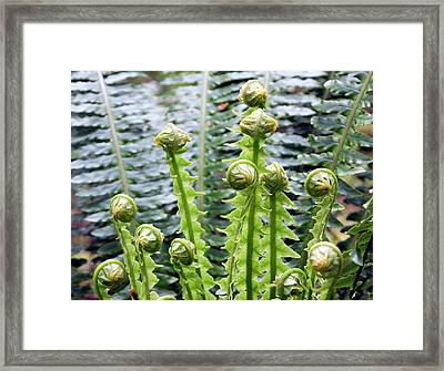 Crown Fern (blechnum Discolor) Framed Print by David Taylor/science Photo Library