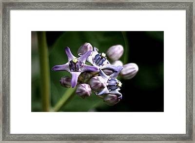 Framed Print featuring the photograph Crown Flower - Purple by Ramabhadran Thirupattur