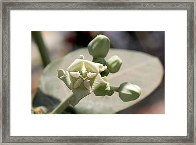 Crown Flower Framed Print by Ramabhadran Thirupattur