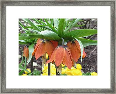 Crown Imperial Fritillaria Framed Print