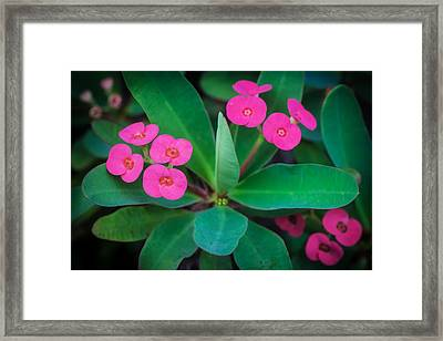 Crown Of Thorns Christ Plant Christ Thorn Painted   Framed Print