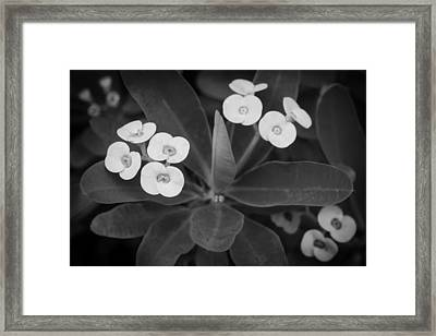 Crown Of Thorns Christ Plant Christ Thorn Painted Bw  Framed Print
