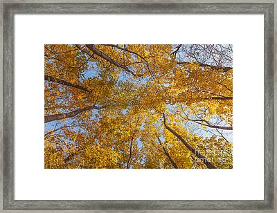 Crown Of Trees With Clear Blue Sky Framed Print by Aleksey Tugolukov