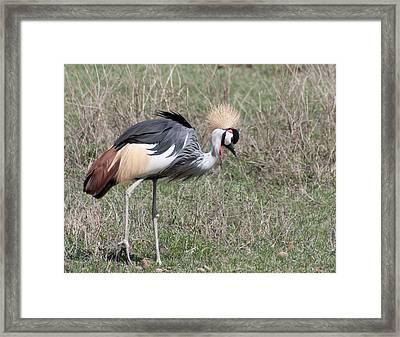 Crowned Crane Framed Print by Jim Heath