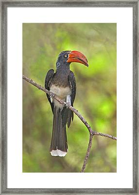 Crowned Hornbill Perching On A Branch Framed Print