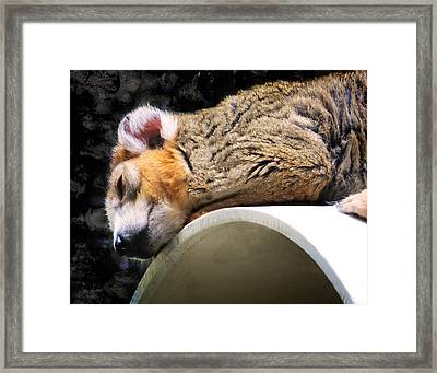Crowned Lemur Framed Print by Shawna Rowe