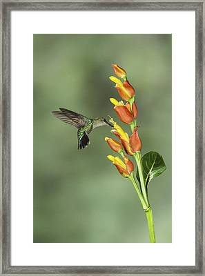 Crowned Woodnymph And Flower In Costa Rica Framed Print