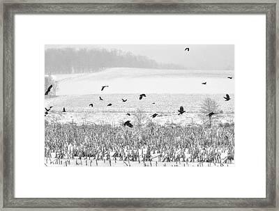 Crows In Cornfield Winter Framed Print by Dan Friend