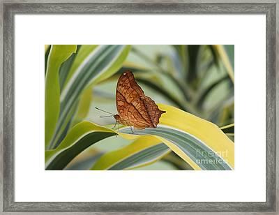 Cruiser Butterfly Framed Print