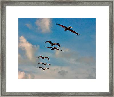 Cruising Pelicans. Melbourne Shores. Framed Print