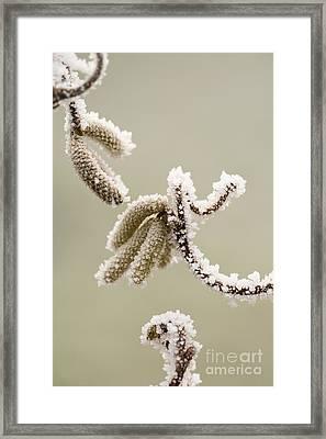 Crunchy Catkins Framed Print by Anne Gilbert