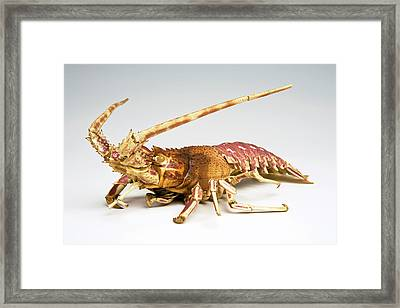 Crustacean Framed Print by Ucl, Grant Museum Of Zoology