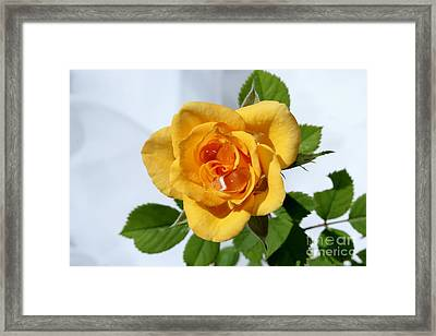 Crying Rose Framed Print