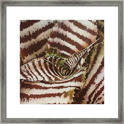 Cryptanthus Framed Print