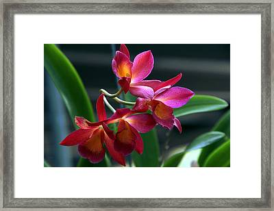 Ctna New River Orchid Framed Print