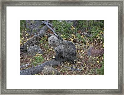 Framed Print featuring the photograph Cub Of The Year by Gary Hall